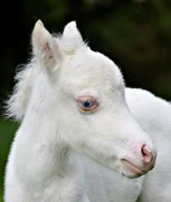 blue eyes, on albino, usually works against the these beautiful creatures.  most of them are Deaf...