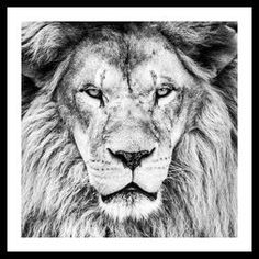 Lion do with BIC pen. Thanks to for photo reference c: Lion BIC pen Black And White Lion, Wild Lion, Bic Pens, Lion Love, Lion Art, Inspirational Wall Art, Graphic Design Illustration, Belle Photo, Big Cats