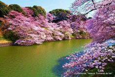 Cherry Blossoms in Japan Cherry Blossom Japan, Cherry Blossoms, Cherry Tree, Pink Flowers, Beautiful Flowers, Vibrant, River, World, Nature