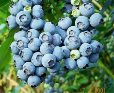 If planted in a suitable sunny site, blueberry bushes are almost completely pest free. However, this plant will not thrive or often even grow in the wrong soils. They must be grown in soils that are highly acidic (pH levels of 4.5-5.5), uniformly moist (not wet), and nutrient-poor. The soils must be high in organic matter because this provides a slow-release of nutrients to the plant.