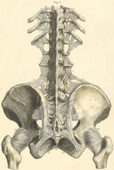 pictures of spines | Ligaments of the lower part of the spine, and of the pelvis with the ...