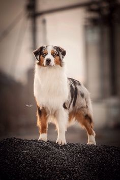 Blue Merle Australian shepherd with blue eyes. Wow is he stunning.