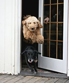 "It's time to go outside and play now!"" ---- [*Luke* (a Labradoodle) jumping over *Buddy* (a Black Labrador Retriever) trying to get outside!]~[Photo by *Caity* - March 27 2009 - Defiance, Ohio, Baby Dogs, Dogs And Puppies, Doggies, Funny Puppies, Black Labrador Dog, Funny Animals, Cute Animals, Baby Animals, Animal Memes"