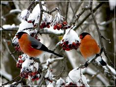 Bullfinch, Birds, Animals, Image, Animaux, Bird, Animal, Animales, Animais