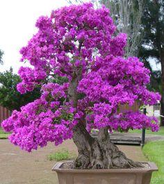 Purple giant bonsai