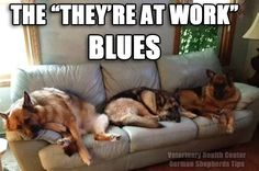 hardworking dogs... #german #shepherd #dog
