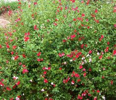 The 2 Minute Gardener: Photo - Hot Lips Sage (Salvia microphylla 'Hot Lips') Drought Tolerant Garden, Agapanthus, Flower Beds, Garden Plants, Perennials, Greenery, Flora, Gardening, Planting
