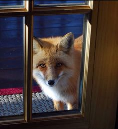 Red Fox- please come look in my door window, Mr. Fox.