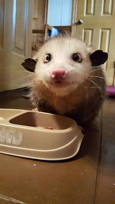 the cutest opossum ever!