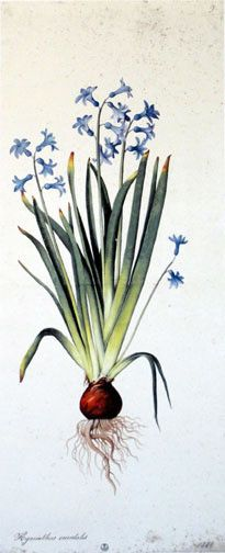 "Hyacinthus Orientalis by Jacopo Ligozzi An International Museum Collection  Fine Art Limited Edition  ""Artist: Ligozzi, Jacopo (c. 1547-c. 1632) Title: Hyacinthus Orientalis Genre: Drawing   Period/Style: Late Renaissance Location: Gabinetto dei Disegni e delle Stampe degli Uffizi  Edition medium: Giclée on Somerset Velvet Paper    Print Size: 31"" High x 14.75"" Wide. Limited Edition of 300, numbered 32/300. Comes with a certificate of authenticity."