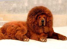 Mastino tibetano..Le chien le plus cher au monde...vendue en Chine pour 2 millions de $