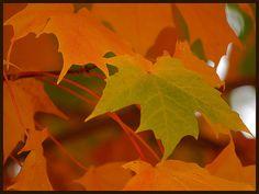 Colors of Autumn Leaves - Live Dan330