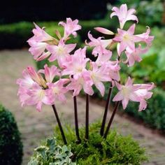 Amaryllis Belldonna, Pack of 2 Dormant Bulbs-70131 at The Home Depot. These are known as Naked Lady Bulbs. Green all year & in mid summer, all leaves die and up springs pink stalks of flowers. Hence the name, Naked Lady, because they drop their skirts of leaves.