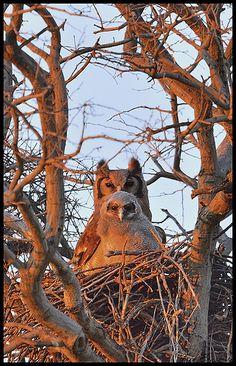 Ver-reauxs Eagle-Owl / Giant Eagle Owl