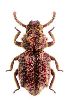 Corticus horimantus
