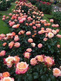Organic Gardening Magazine Back Issues Beautiful Flower Quotes, Beautiful Flowers Garden, Beautiful Roses, Pretty Flowers, Beautiful Gardens, Rose Garden Portland, Organic Gardening Magazine, Rosa Rose, Belleza Natural