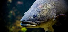 The Murray cod (Maccullochella peelii) is the largest native Australian freshwater fish species, and is probably the most iconic. The species' credentials are impressive: it can live for more than 50 years… List Of Animals, Wild Animals, Native Australians, Cod Fish, Freshwater Fish, Endangered Species, Aquaponics, Livestock, Mammals