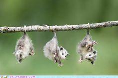 3 Opossums