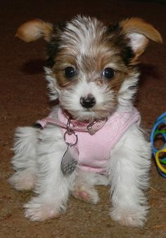 Oh what a cute yorkie but have never seen one with these colors.
