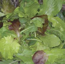Baby Leaf Zesty Mesclun Mix -A tangy mix of greens suited to scissor-harvest as baby leaves. Includes a wide variety of flavors, colors and textures, from tangy arugula and mustards to colorful chards, spinach and lettuces. The growth and germination rates vary for these greens, so your salads will always be a little different. After one or two pickings of baby greens, grow on and harvest mature leaves.