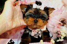 All the things I enjoy about the Brave Yorkshire Terrier All die Dinge, die ich am Brave Yorkshire Terrier mag # Micro Teacup Yorkie, Teacup Yorkie For Sale, Cute Teacup Puppies, Yorkies For Sale, Yorkie Puppy For Sale, Super Cute Puppies, Cute Dogs And Puppies, Toy Yorkshire Terrier, Yorkshire Terrier Haircut