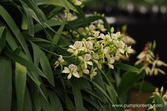 Prosthechea radiata, a native of Mexico and Guatemala, pictured on the…