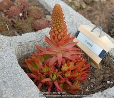 Photo of Rock Pine (Orostachys japonica) uploaded by valleylynn