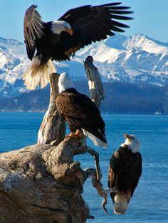 Abundant Eagles, Homer, Alaska