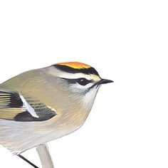 Golden-crowned Kinglet. Painted and © by David Sibley