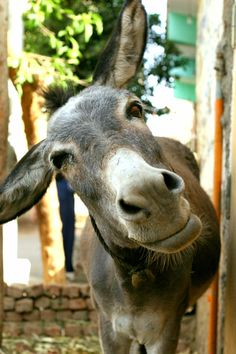 Who, me? tipsy? Egypt donkey. Photo by Ria van Capel, 2007