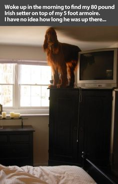 """Woke up in the morning to find my 80 pound Irish Setter on top of my 5 foot armoire. I have no idea how long he was up there."" ~ Dog Shaming shame - I think this is a dogs version of a joke since they can't speak"