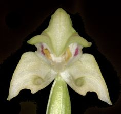 Orchid-Mimicry: Flower of Disperis lindleyana - All dressed-up to look like 'Kermit' - The Frog
