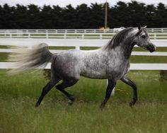 Heartthrob Arabians - Stallions