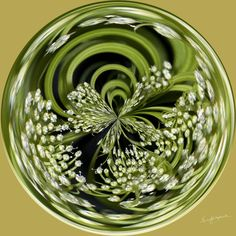 Amazing Circle - Queen Anne's Lace.  Copyright Nancy Kirkpatrick Photography