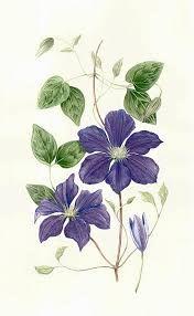 Resultado de imagen de clematis watercolor tattoo