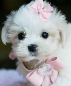Teacup Little Girl Maltese..OMG..I think Sophie needs a little sister.....lol