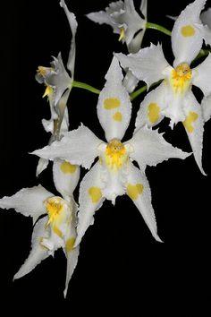 Odontoglossum crispum alba 6257 | Flickr - Photo Sharing!