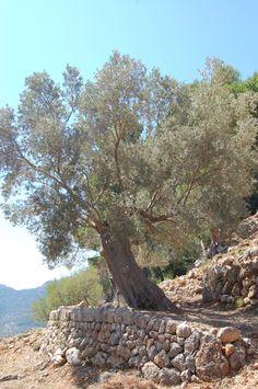 Landscape Photos, Landscape Photography, Nature Photography, Provence, Mediterranean Garden Design, Spanish Garden, Backyard Play, Old Trees, Olive Tree
