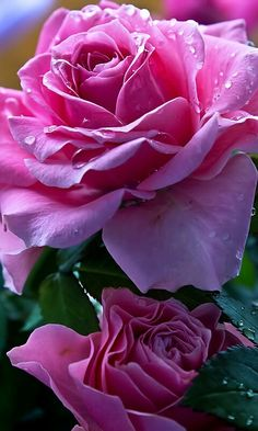 Bela Rosa.....bjssssss    Bela Rosa★♥★