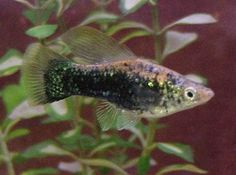 Speckled Highfin Platy