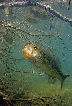 Fast Food  Bass are built for flashes of speed. Just how fast do these fish actually move? Schramm says that in bursts, they can exceed 3 body lengths per second. This means that in 1 second a 20 inch bass could travel 60 inches or about 5 feet. What does this mean for the angler? If a bass really wants to hit that crankbait you're ripping over a weedbed, he'll be able to catch up to it no matter how fast you reel.