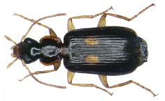 Family: Carabidae Size: 5-6,5 mm Origin: Europe Location: Germany, Bavaria, Upper FRanconia, Selbitz leg.det. U.Schmidt, 2005 Photo: U.Schmidt, 2007