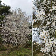 In voller Blüte steht der Baum zwischen Vitte und Neuendorf.  #blühen #frühling #spring #blüte #baum #blüten #nature #schön #natur #frühlingsgefühle #april #wunderschön #bäume #tree #blühend #trees #glücklich #hiddensee #naturelovers #nordlotsen #wirsindinsel #naturegram #hiddenseeforum #mecklenburgvorpommern #aufnachmv