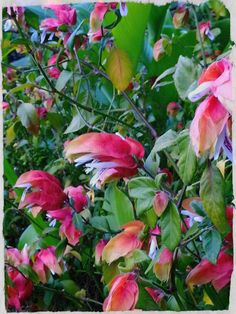 Shrimp plant at the Royal Botanical gardens in Sydney
