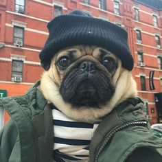 Pugs are not for everyone, but I think everyone needs a Pug just for the comic relief they bring to life. Doug The Pug, Pug Pictures, Dog Photos, Pug Pics, Pug Accessories, Cute Cats And Dogs, Pug Puppies, Lollapalooza, Pug Love