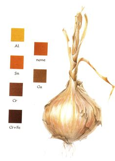 Natural dyeing: Onions