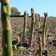 Plantskola med sparrisplantor och odlingstillbehör i Skillinge. Säsongsöppet i maj-ca midsommar. På Sparrisgården finns en separat Gårdsbutik, där vi säljer vår s