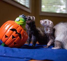Rigby: Look what we have here Fera: Oh goody, it's time to play whack-a-zombie . . . #jackolantern#halloweenpets#ferret#furkids#happypet#pawsome#cuteanimals#igcutest_animals#animalsofig#adoreableanimals#ferrets#ferretlove#instaferret#petlife#petlovers#fuzzbutt#furet#ferretgram#funpetlove#animalgram#petco#petscorner#halloweeniscoming#windowlight#フェレット