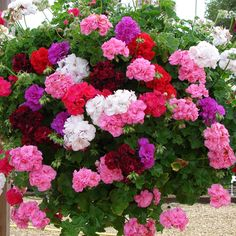 Rosebud Trailing Geraniums ~ This is a mix of six geraniums... so pretty!!