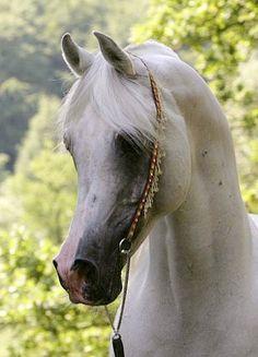 MUJAHID el NAARAH (El Thay Masoud x Moneera-Mohera) 1994 grey SE stallion bred by El Narrah Stud, Germany - Saklawia Jedran Ibn Sudan Family